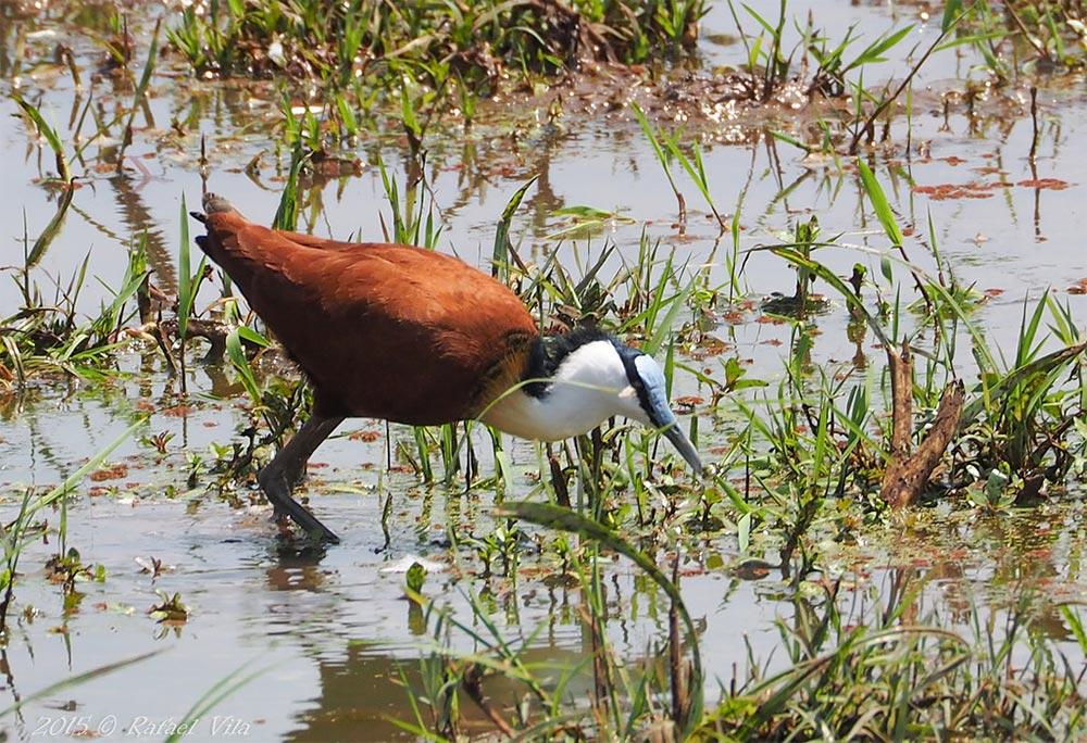 Safari_Sense_Amboseli_Jacana_Birdlife