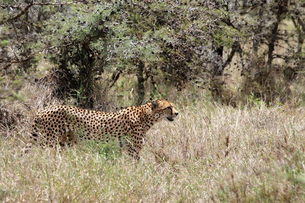 safari-sense-cheetah-samburu-shaba