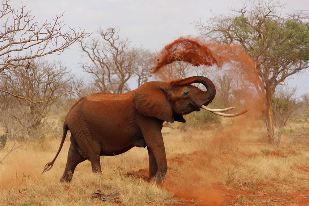 safari-sense-tsavo-eas-tsavo-west-elephant-red