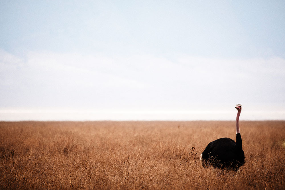 safari-sense-tsavo-east-tsavo-west-somali-ostrich