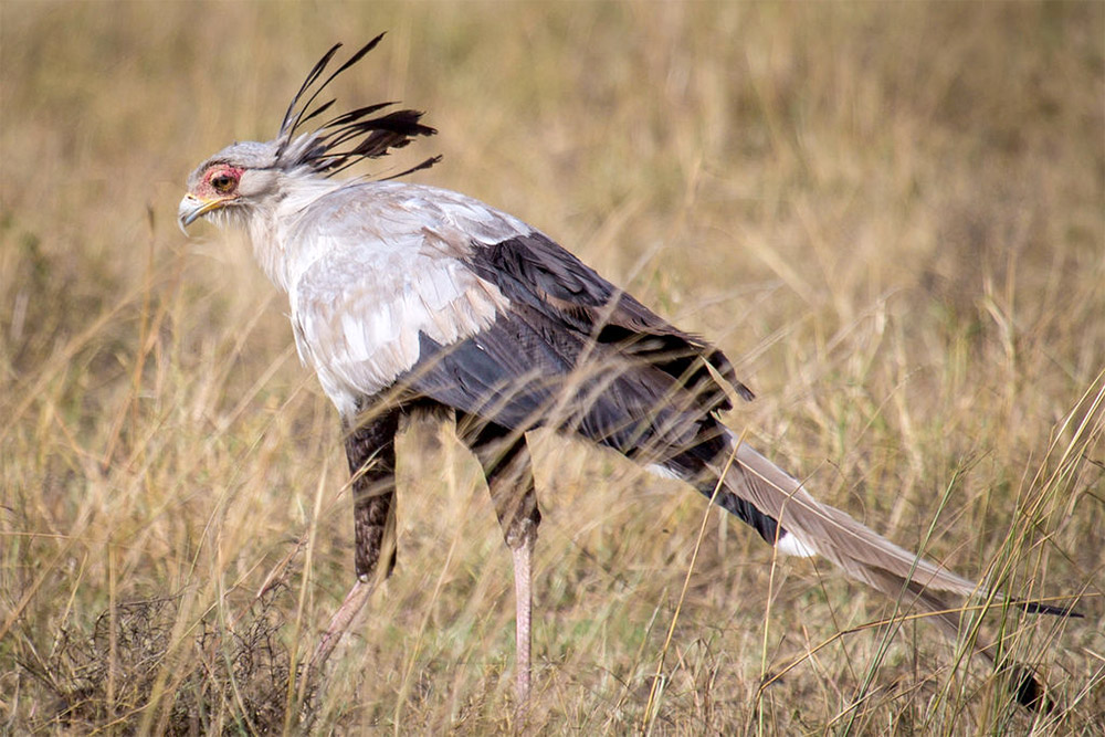 Safari_Sense_Laikipia_Secretary_Eagle_Birdlife
