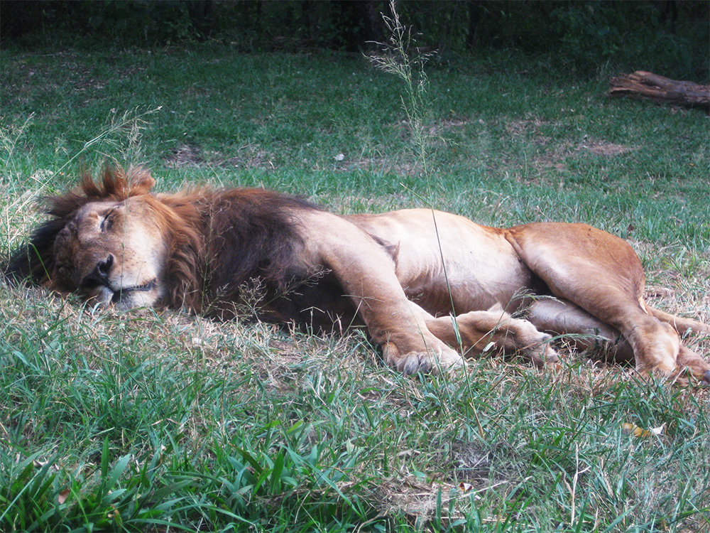 Safari_sense-Kenya-Kids_lion