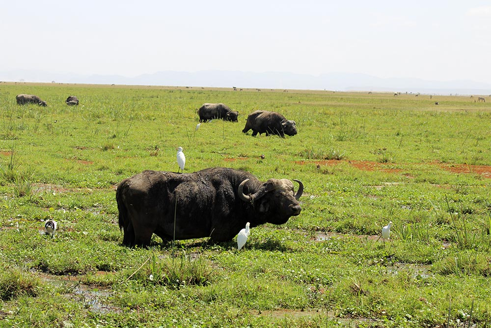 The swamps are the best areas to find herds of buffalo
