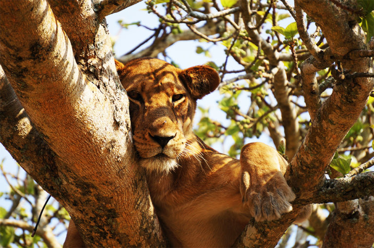 Safari_sense_tree_climbing_lion_nakuru