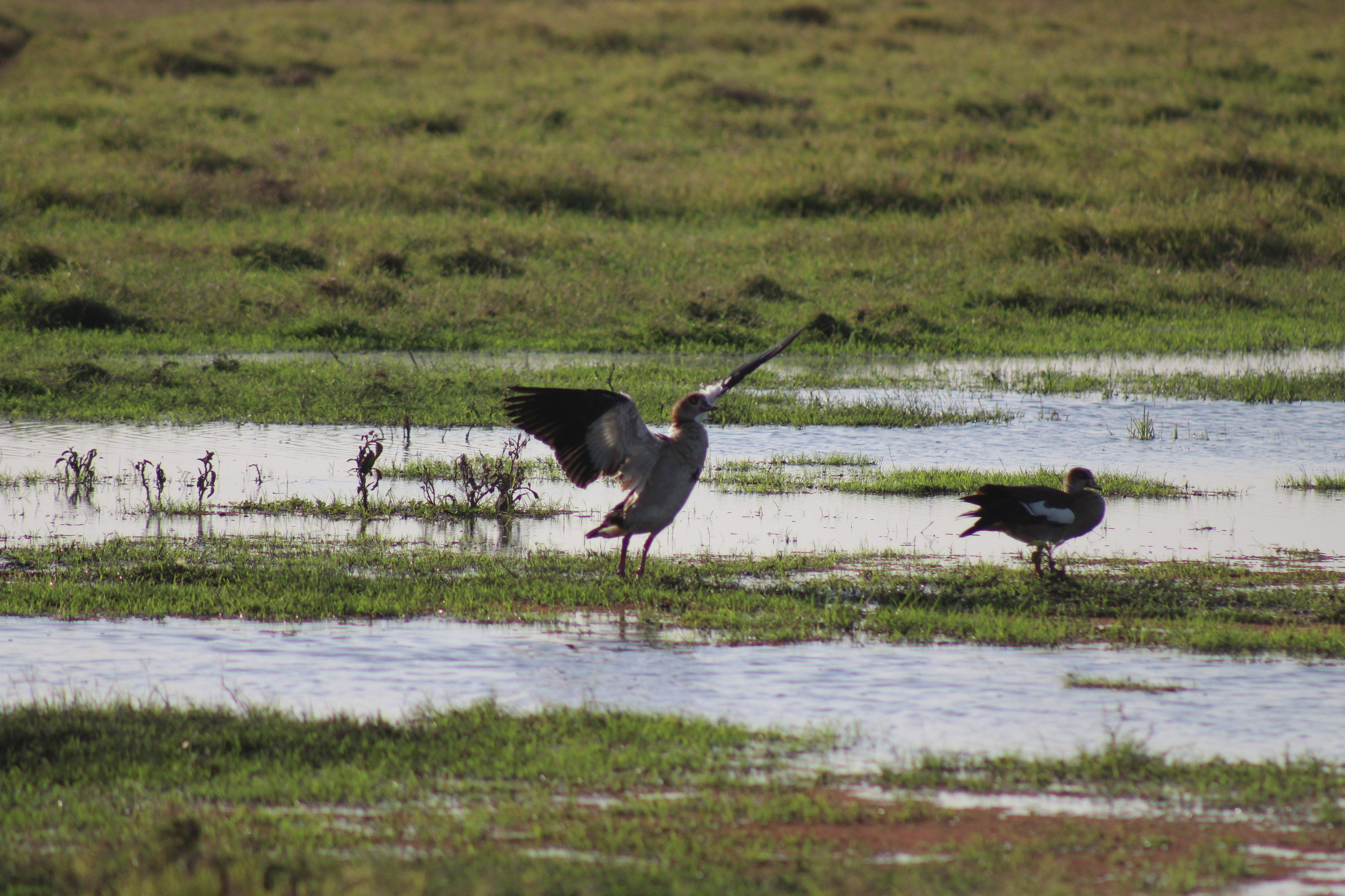 Egyptian geese and a host of other endemic birds