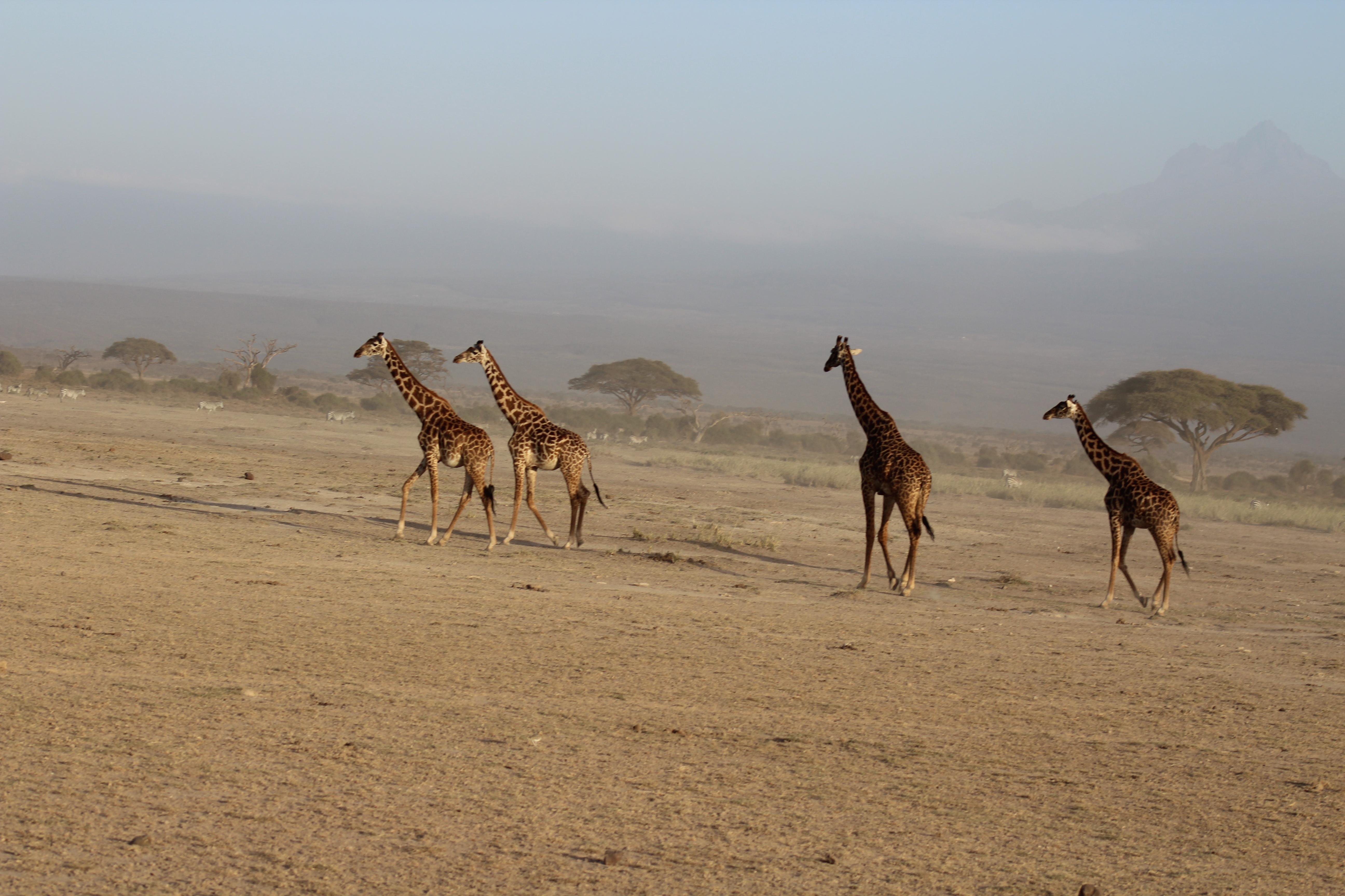 Giraffes...