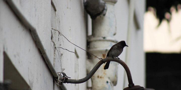 Birdnificent©: Backyard Birding – Nairobi (COVID-19 Edition)